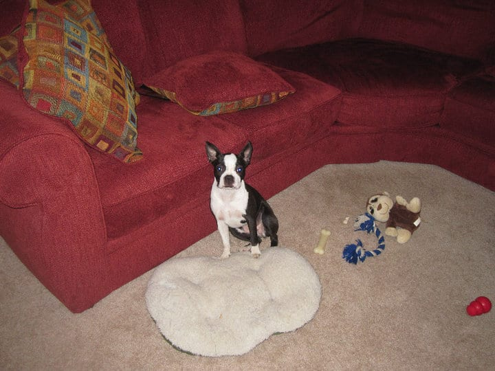 Are Boston Terriers Good Apartment Dogs? Your Guide. Boston Terrier Society