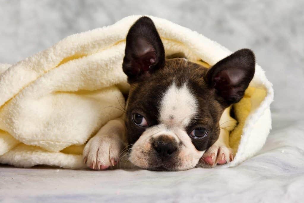 How Often Should a Boston Terrier Puppy Poop? Boston Terrier Society. Cute Boston Terrier Puppy.