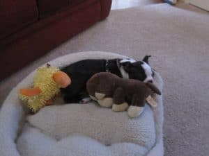 Sleeping baby Boston Terrier