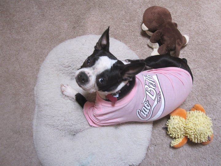 Flying Internationally With Your Boston Terrier. Boston Terrier Society.