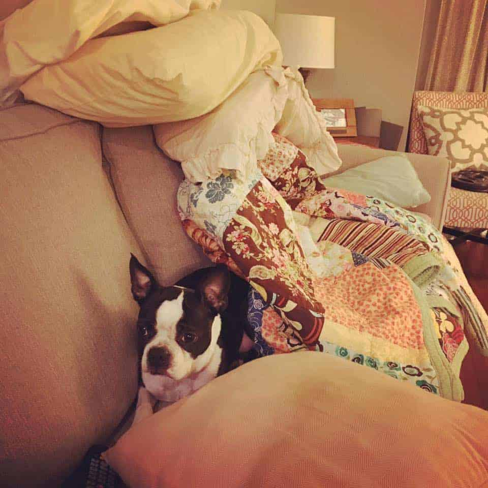 Leaving Your Boston Terrier Alone For The First Time: Guide. Boston Terrier Society.