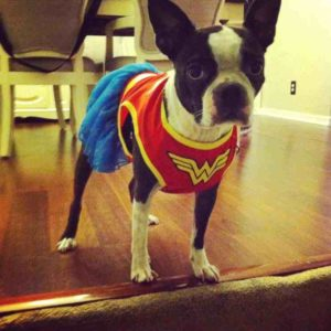 The Boston Terrier's Temperament and Personality