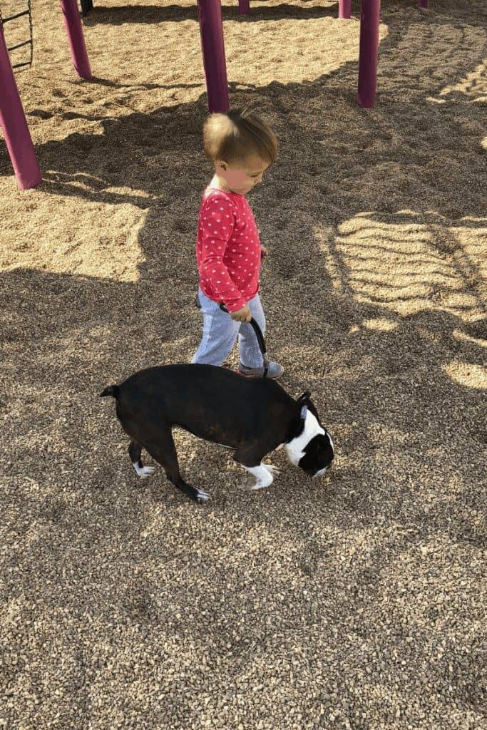 Train your Boston Terrier to Walk on a Leash Without Pulling