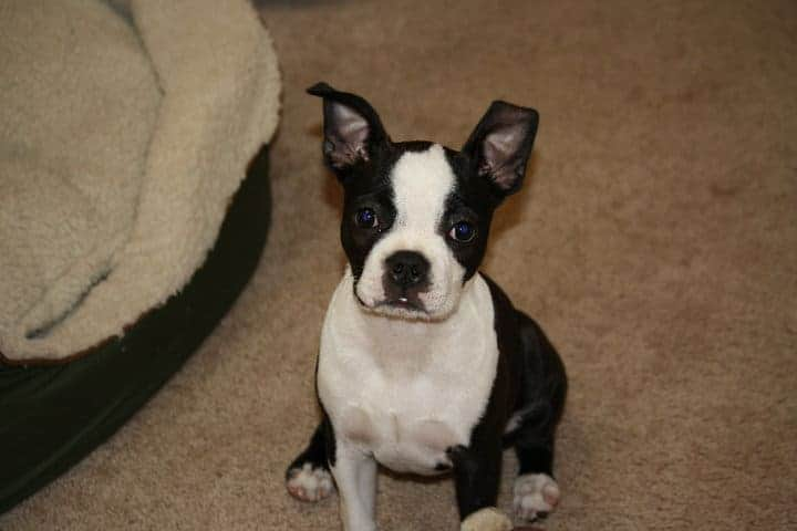 How Do I Get My Boston Terrier To Stop Biting? Boston Terrier Society.