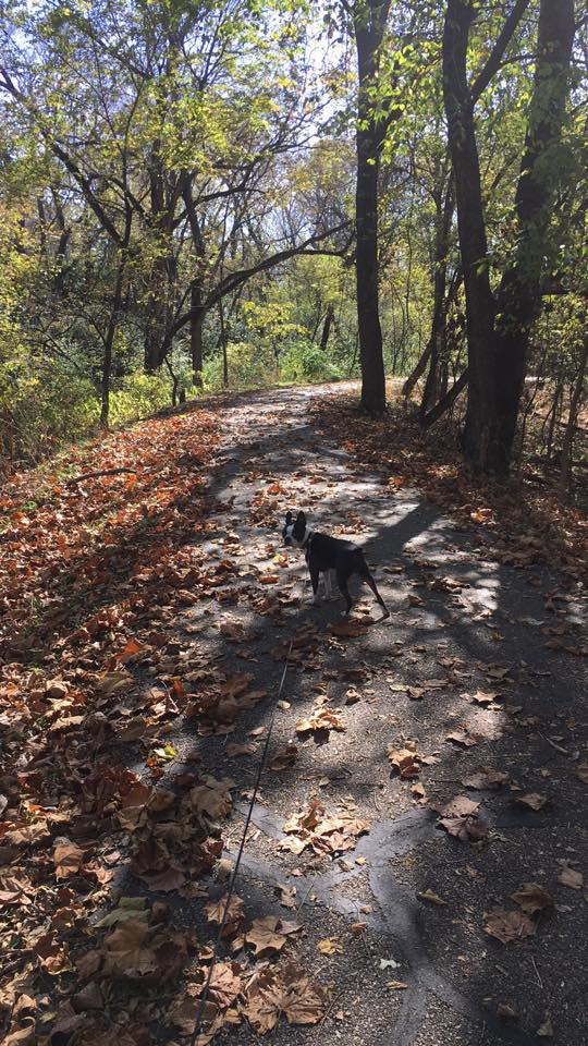How To Take A Boston Terrier Hiking. Boston Terrier Society.