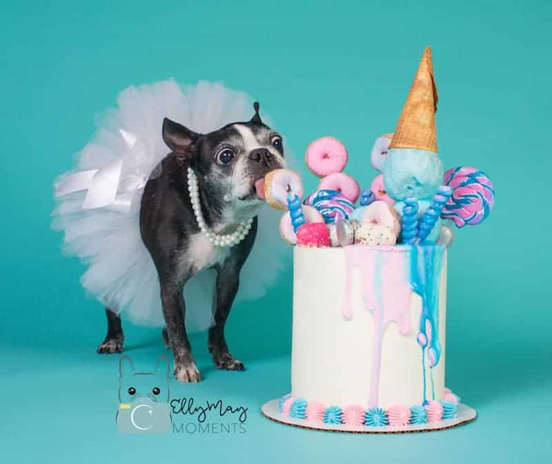 Pet Photographer Interview: Elly May Photography. Boston Terrier Society.
