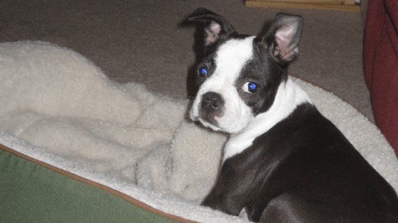 When Do Boston Terriers Ears Stand Up?  What If They Don't? Boston Terrier Society.