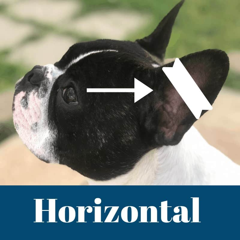 Ear cropping horizontal taping method.When Do Boston Terriers Ears Stand Up?  What If They Don't? Boston Terrier Society.