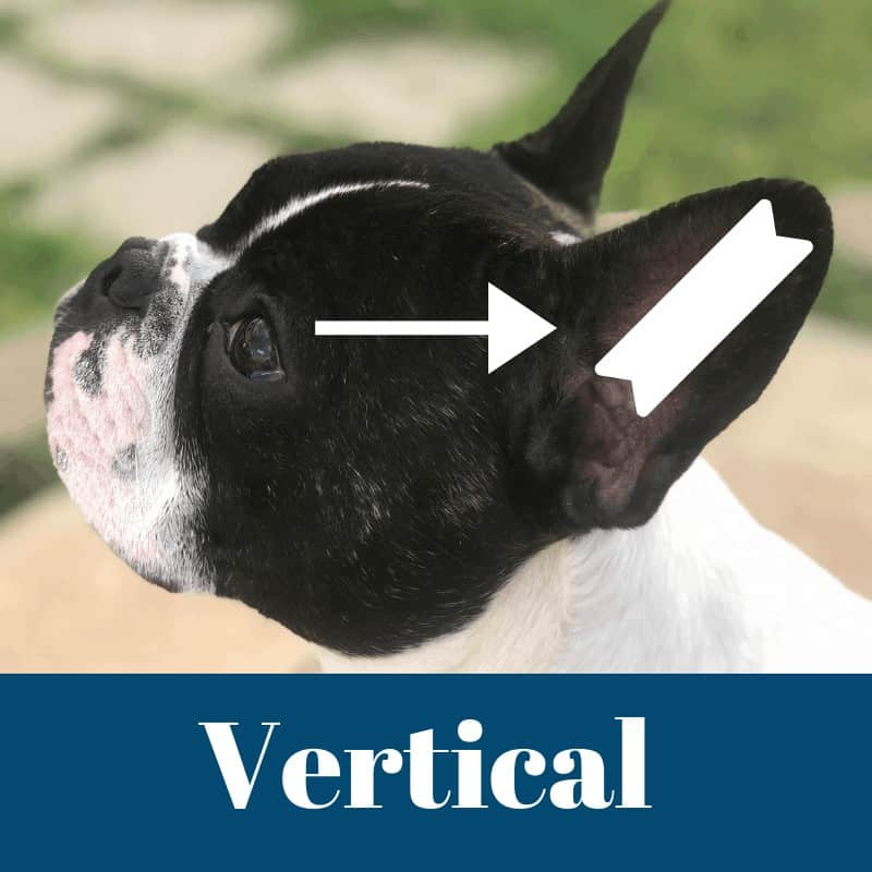 Ear cropping vertical taping method.When Do Boston Terriers Ears Stand Up?  What If They Don't? Boston Terrier Society.