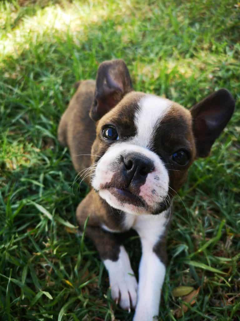 Boston Terrier Breeders in The United States and Canada. Boston Terrier Puppies in the United States and Canada. Boston Terrier Society.