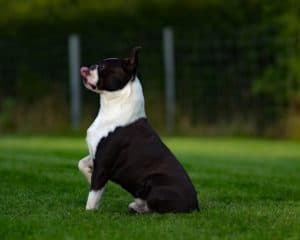 How To Find A Reputable Boston Terrier Breeder. Boston Terrier Society.