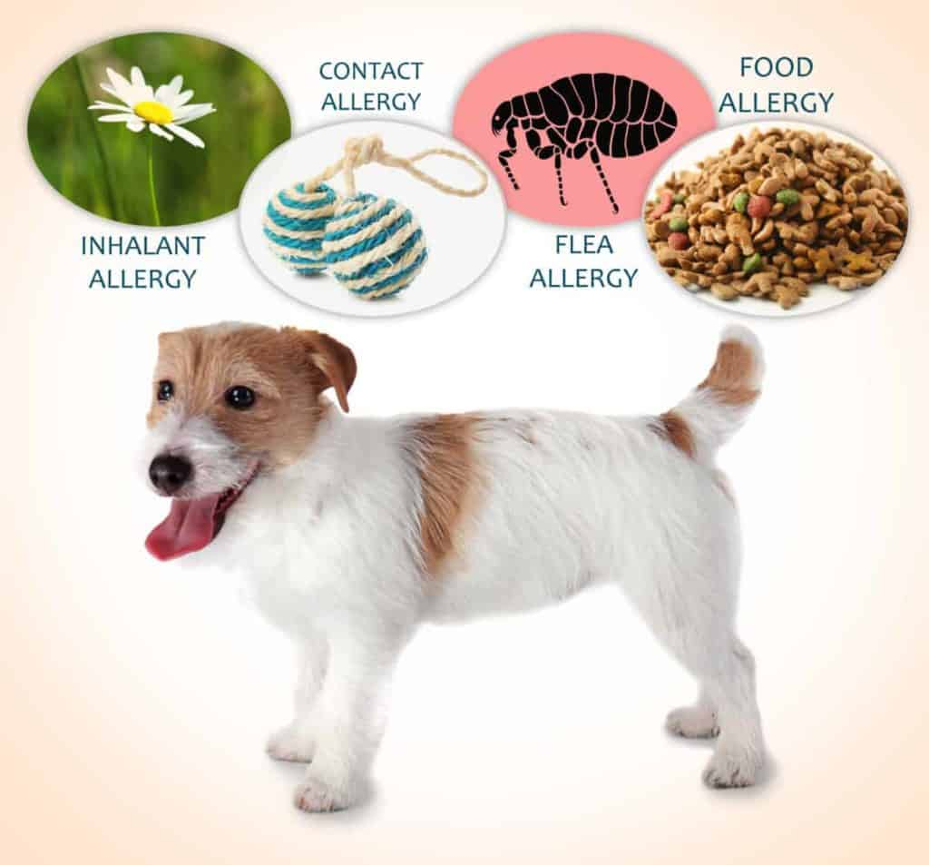 Dog Allergy Guide: Symptoms & Treatments; Natural Remedies