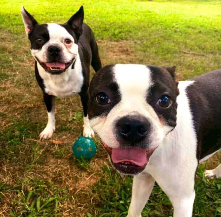 Owning A Boston Terrier: Danielle's Experience Buying Online & More.  How To Buy A Boston Terrier Online Review.  Boston Terrier Society.