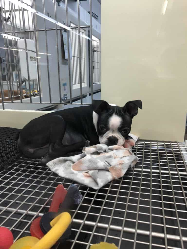 The Pros & Cons Of Buying A Dog From A Pet Store. Boston Terrier Society.