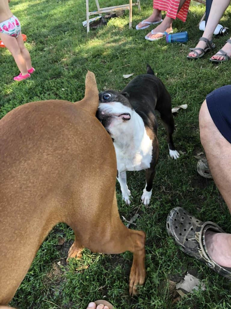 How to socialize your Boston Terrier. Boston Terrier Society.