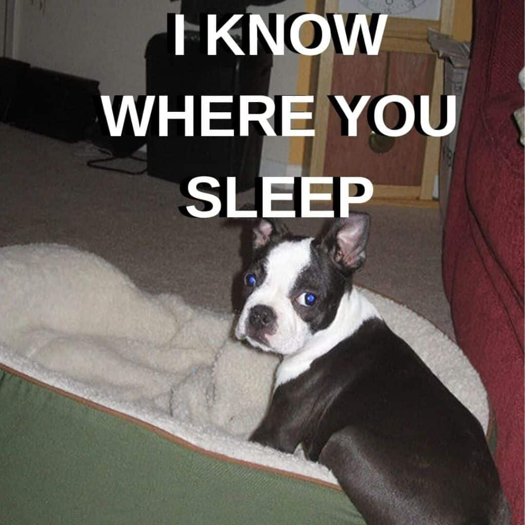 Boston Terrier Meme. Bella as a puppy.