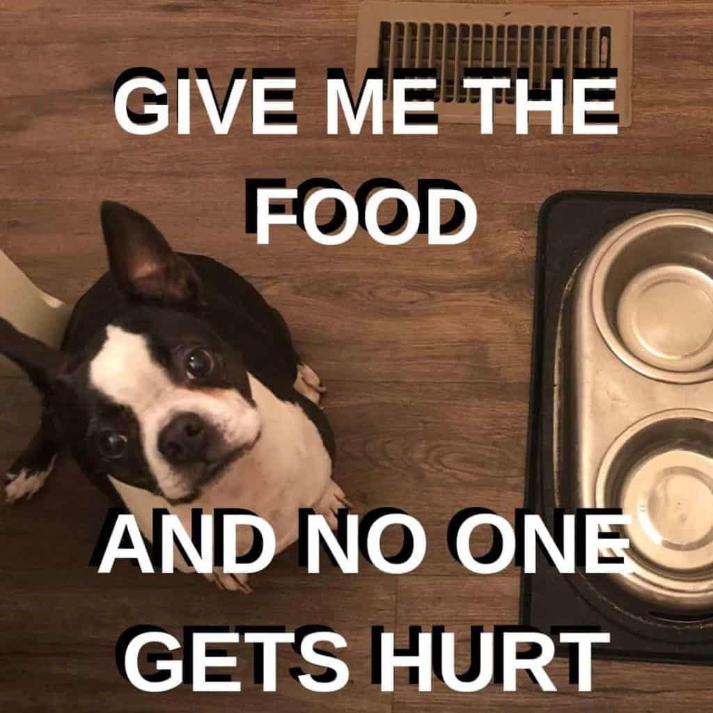 Boston Terrier Meme. Bella getting ready to eat dinner.