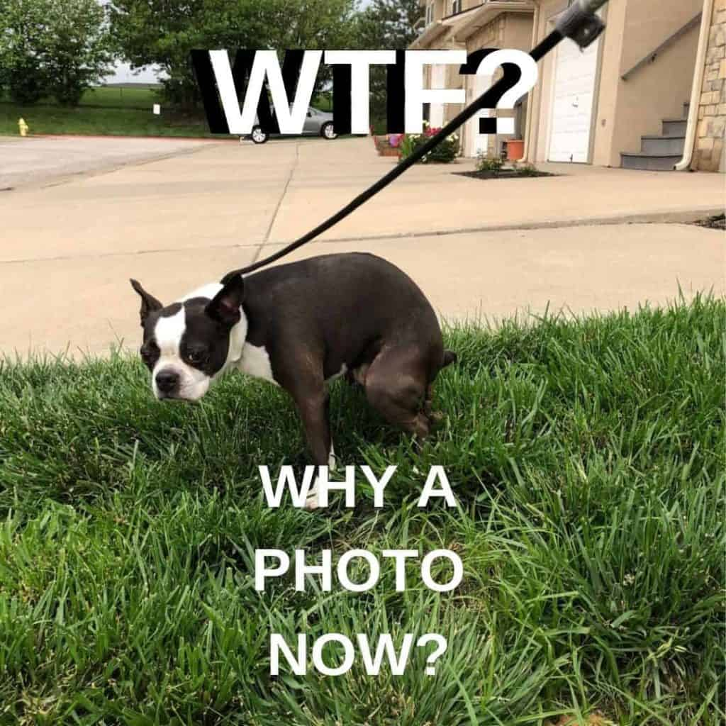 Boston Terrier Meme. Bella taking a poop.