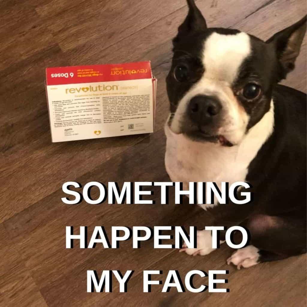 Boston Terrier Meme. Bella next to her medication.