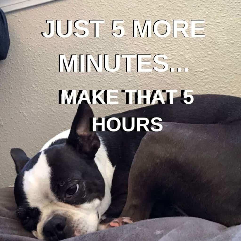 Boston Terrier Meme. Bella wanting to take a nap.