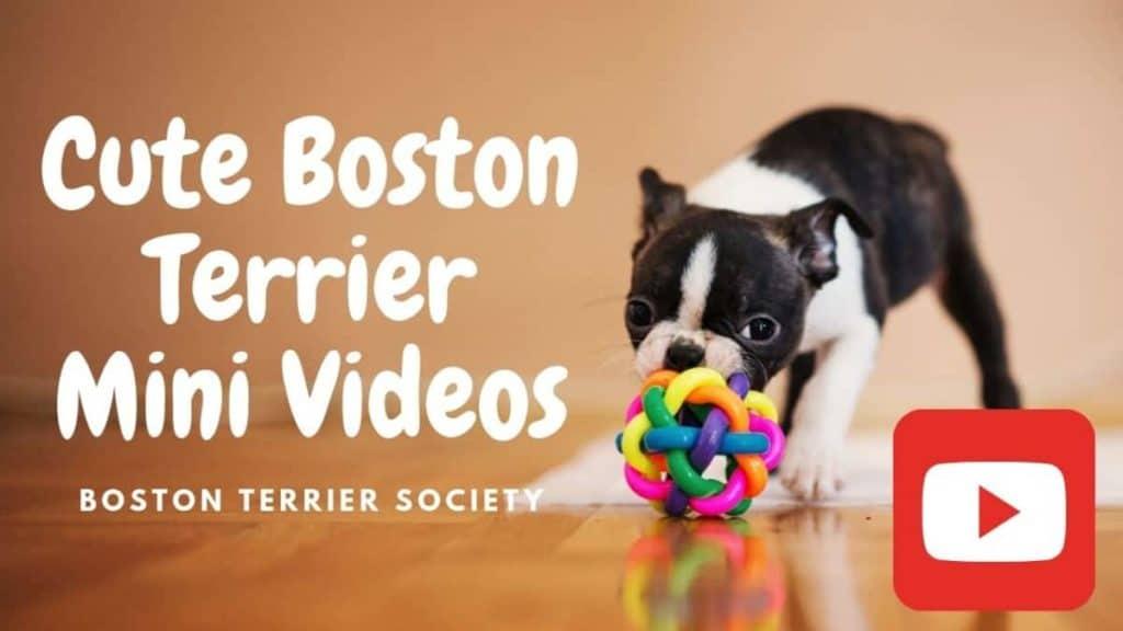 Cute Videos Of Sofia and Bella: Funny Boston Terrier