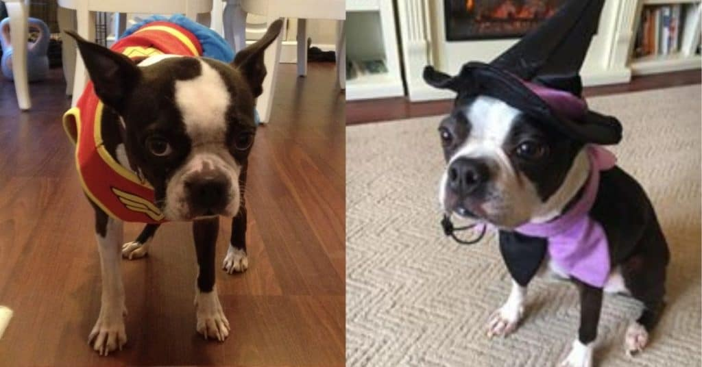 2019 Boston Terrier Society Halloween Costume Contest