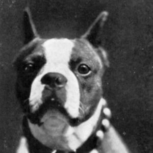 Boston Terrier Rescues In Maryland - Cost & Adoption Process