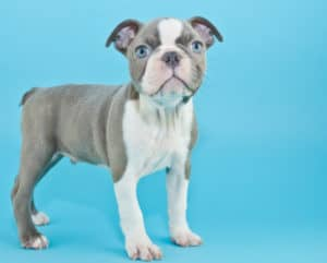 What is a Blue Boston Terrier? Photos & Vidoes