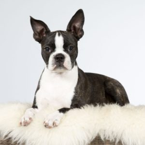 What does a haggerty spot look like on a boston terrier?