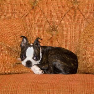 What is the haggerty spot? Boston Terrier Society