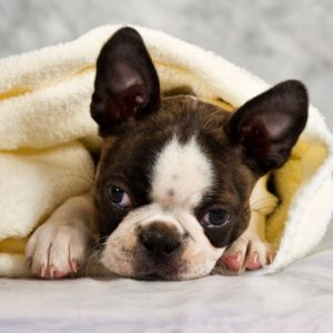 Haggerty Spot: What is it, why does it exist? With Photos. Boston Terrier Society