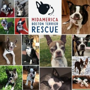 Interview With MidAmerica Boston Terrier Rescue Founder. Boston Terrier Society Podcast.