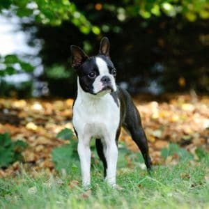 Boston Terrier Zoomies: Why? How? When? Videos