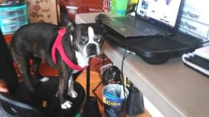 boston terrier helping at work. Boston terrier working from home.