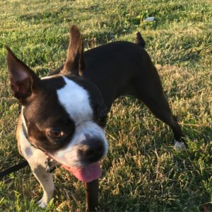 Boston Terrier walking