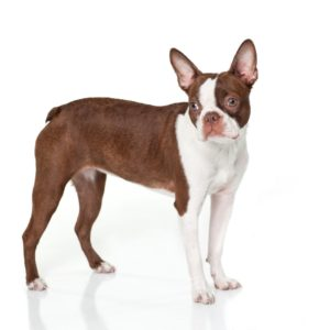 Your Guide To Red Boston Terriers