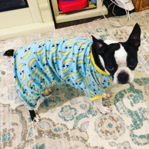 Can Boston Terriers Eat Bananas? Plus Recipe Ideas. Boston Terrier in a banana outfit.