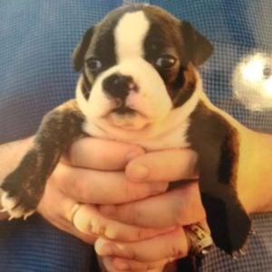 baby boston terrier being held