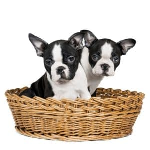 baby boston terriers