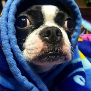 A Boston Terrier In Blankets