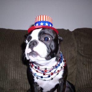 A Boston Terrier On The 4th of July.