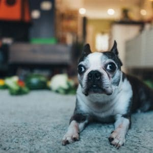 Boston Terrier with Strabismus