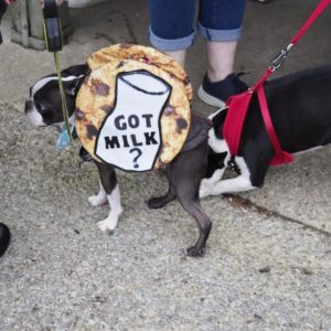 Funny boston terrier picture.