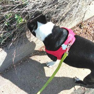 Boston Terrier sniffing around. A Boston Terrier enjoying a walk. A Boston Terrier stops to smell.