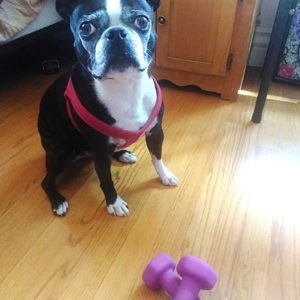 boston terrier getting ready to workout