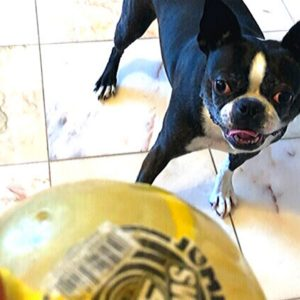 Boston Terrier getting ready to play with a ball.