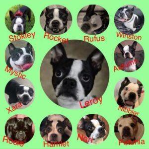 fostering Boston Terriers