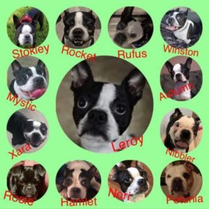 Boston terriers available for adoption or rescue.