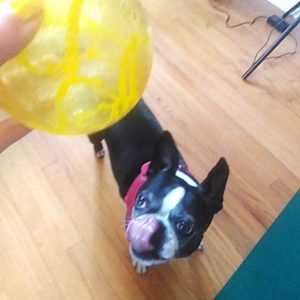 boston terrier playing with a ball.