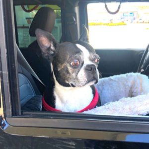 A Boston Terrier in a car. A Boston Terrier looking scared in a car.